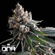 DNA Genetics Seeds Golden Lemons