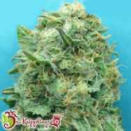 Dr. Krippling Seeds Grand Heft AUTO