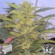 Johnston's Genetics Seeds Grandma's Double Stuffed Cookies