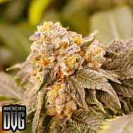 Dungeon Vault Genetics Seeds Grandpa's Breath F2