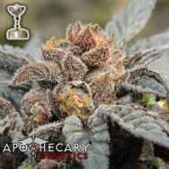 Apothecary Genetics Seeds Grape Ape AKA GDP