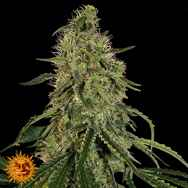 Barneys Farm Seeds Grape Ape