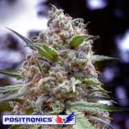 Positronics Seeds Grapefruit
