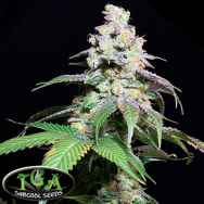 TGA Subcool Seeds Grape Inferno