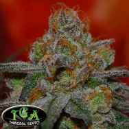 TGA Subcool Seeds Grape Lime Ricky