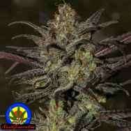 Next Generation Seeds Grapefruit Diesel