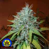 Next Generation Seeds Grapefruit Kush