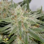 Reeferman Seeds Grapefruit