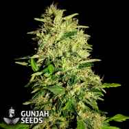 GunJah Seeds Great White
