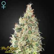 Green House Seeds Great White Shark CBD