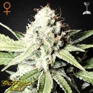 Green House Seeds Great White Shark