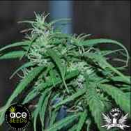 Ace Seeds Green Haze