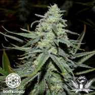 Bodhi Seeds Green Lotus