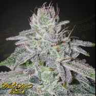 Green House Seeds Franco's Lemon Cheese