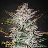 Green House Seeds Holy Punch