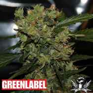 Green Label Seeds Automatic Mega Bud