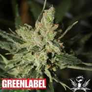 Green Label Seeds Automatic Amnesia