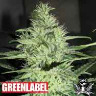 Green Label Seeds Ace Silver Haze