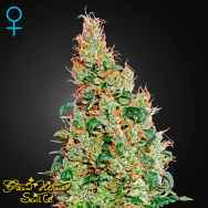 Green House Seeds Green-O-Matic Autoflowering