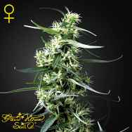 Green House Seeds Green Thai