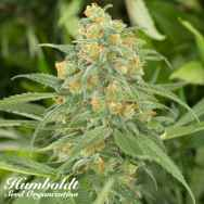 Humboldt Seed Organization Green Crack
