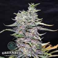 Greenbud Seeds Green Power XL