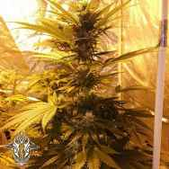 Holy Smoke Seeds Guava Dub-Star