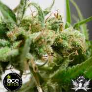 Ace Seeds Guawi