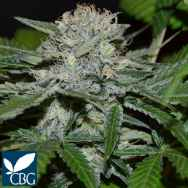Cannabiogen Seeds Hash Fruit