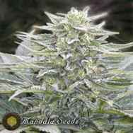 Mandala Seeds Hashberry