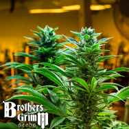 Brothers Grimm Seeds Hashmaster
