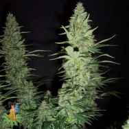 Sativa Seeds Hawaii Maui Waui