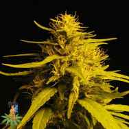 Sativa Seeds Haze #1 AKA Haze #13
