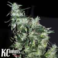 KC Brains Haze Special