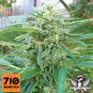 710 Genetics Seeds C99 Haze