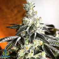 Exotic Genetix Seeds Hazelnut Cream