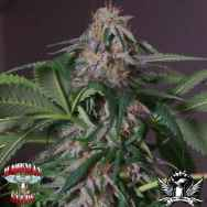 Hazeman Seeds Blue Bubba
