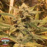 Hazeman Seeds HeadChez