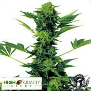 High Quality Seeds Bob Marley's Best