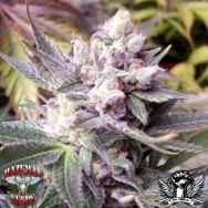 Hazeman Seeds Double White Cheese