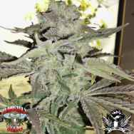 Hazeman Seeds Grape 13