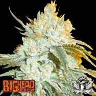 Big Head Seeds AUTO Head Stash