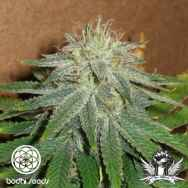Bodhi Seeds Head Trip