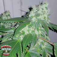 Hazeman Seeds HeadCandy