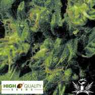 High Quality Seeds Durban Poison Amazing Special