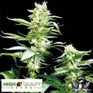 High Quality Seeds Early Girl