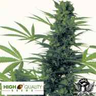 High Quality Seeds Four Way Special