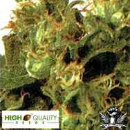 High Quality Seeds Original Highway Delight