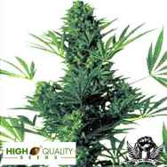 High Quality Seeds Northern Light