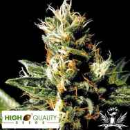High Quality Seeds Northern Pride